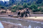 Elephants Hauling  Teak logs